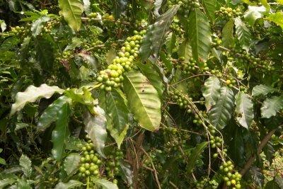 Kaffeepflanzen tragen dekorative Früchte.
