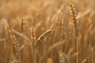Gluten im Getreide kann Blähungen verursachen.