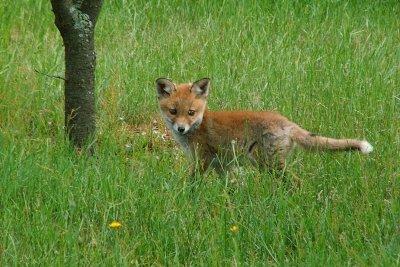 Junger Fuchs auf einer Wiese