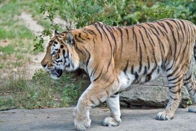 Tiger ist ein süßer Kosename.