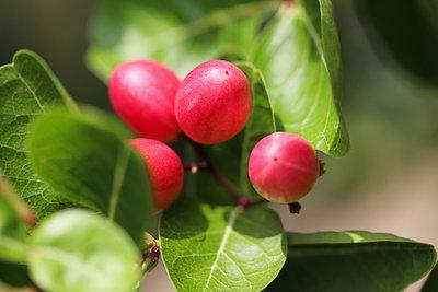 Goji-Beeren schmecken gut und sehen hübsch aus.