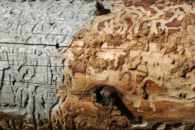 Der Holzwurm muss gründlich bekämpft werden.