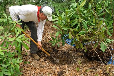 Richtige Standortbedingungen beugen der Rhododendronzikade vor.