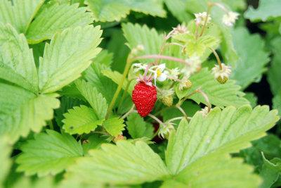 Erdbeeren können Sie im Balkonkasten pflanzen.