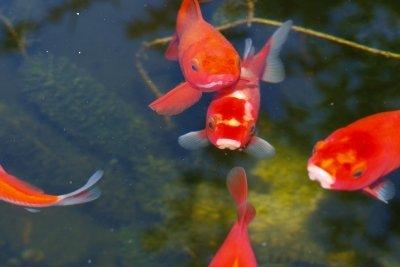 Einfache Goldfischarten sind ideal für Gartenteiche.