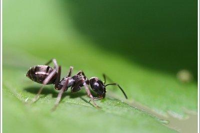 Ameisen in artgerechter Umgebung beobachten