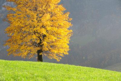 Lindenbäume sind prachtvoll.