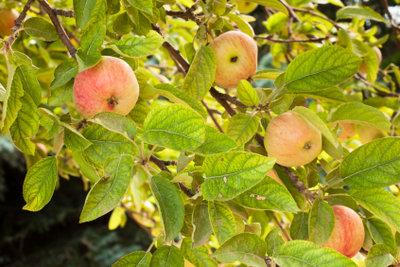 Ein Apfelbaum im Garten macht Freude.