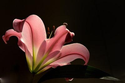 Lilien können auch als Zimmerpflanze gedeihen.
