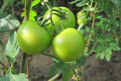 Gut gewachsene Tomaten im Gewächshaus.
