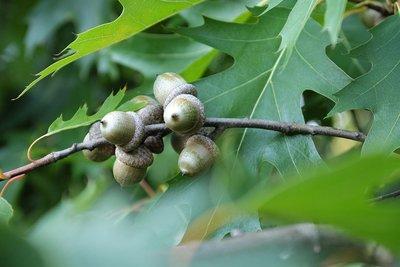 Die Spitzeiche - ein Baum für Generationen