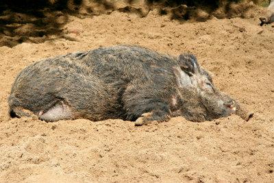Spielen Sie eine Wildschweinjagd nach.