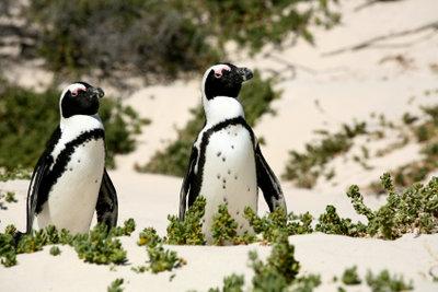 Ein Pinguin sollte nie allein sein.