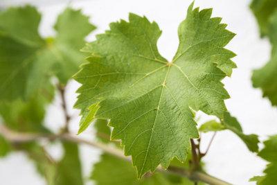 Zarte Weinblätter für leckere Füllungen
