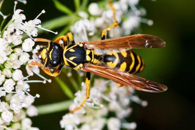 Wespenstiche sind ausgesprochen schmerzhaft.