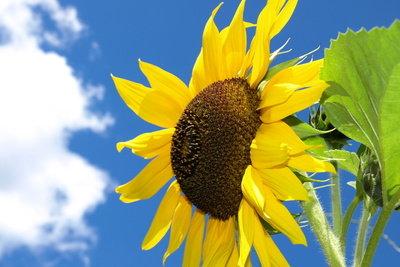 Sonnenblumen halten sich durch Anschneiden länger frisch.