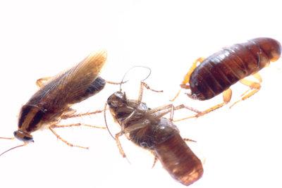 Kakerlaken sind widerstandsfähig.