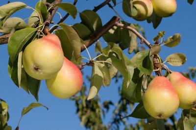 Gesunde Birnen machen Freude.