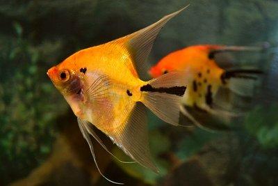 Warmwasserfische in ihrem Aquarium