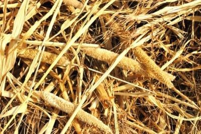 Strohpuppen aus Getreide nach Anleitung bauen