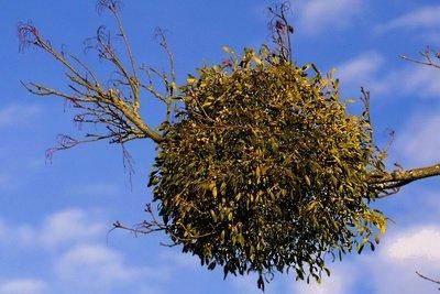 Misteln wachsen in Baumkronen.