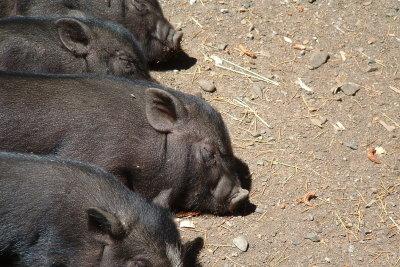 Schweine sind schlau.