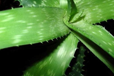 Aloe vera sollte richtig gepflegt werden.
