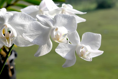 Orchideen zu kreuzen, ist sehr schwierig.
