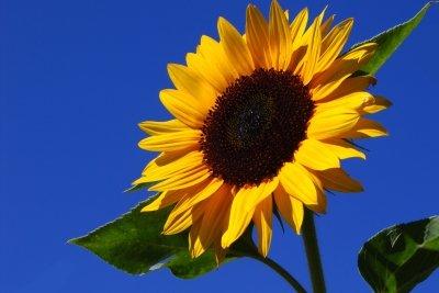 Die kräftige Sonnenblume strahlt mit der Sonne um die Wette.