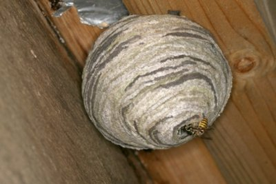 Wespen sind nützlich, aber auch lästig.