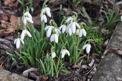 Pflanzen wie Schneeglöckchen blühen im März.