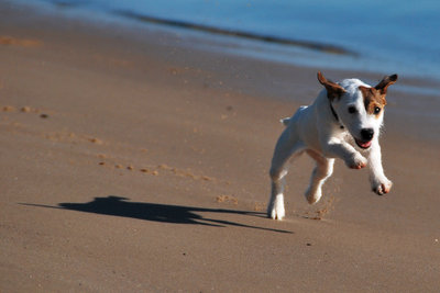 Jack Russell Terrier richtig erziehen