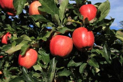 Apfelbäume sollten richtig beschnitten werden.