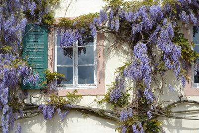 Der Blauregen ist eine attraktive Schlingpflanze.