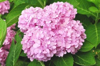 Die Hortensien-Farbe hängt vom Boden ab.