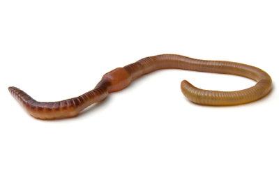 Tauwürmer züchten ist nicht so einfach.