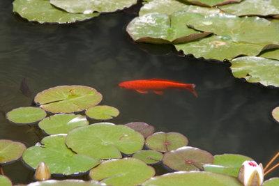 Im Teich fühlen sich Fische wohl.