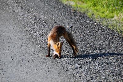 Fuchs überfahren? Melden Sie den Wildunfall!