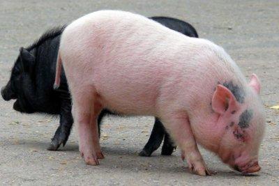 Auch Teacup-Schweine werden groß.