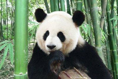 Dieser Panda sitzt auf dem Kopf.