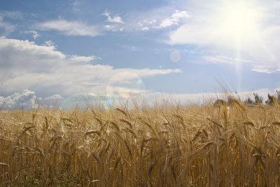 Getreide müssen Sie richtig anpflanzen.