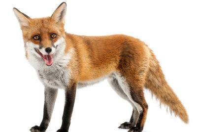 Der Mozilla kann ein Fuchs sein.