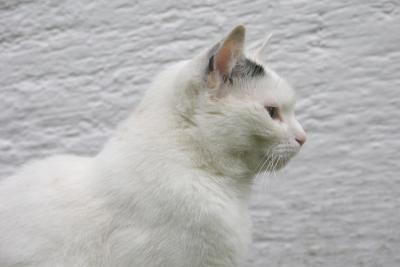 Werden Sie zu einer weißen Katze.