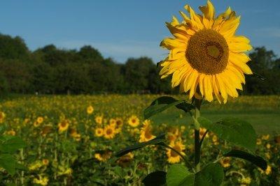 Sie brauchen viele Blumen für Sonnenblumenöl.