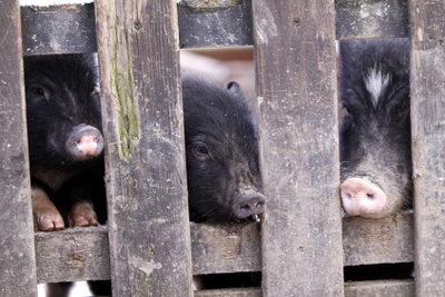 Hausschweine richtig halten.