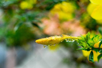 Engelstrompete mit gelben Blütenknospen