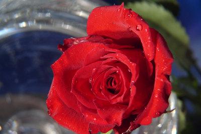 Damit die Rosen lange schön bleiben