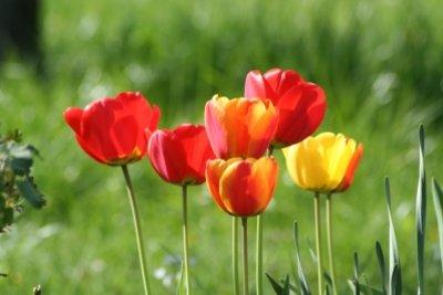 Blumenzwiebeln im Frühjahr pflanzen - sommerliche Blütenpracht.