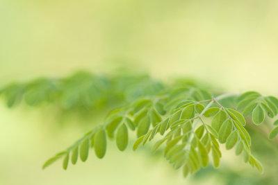 Moringa-Baum - immer beliebter bei Gartenfreunden