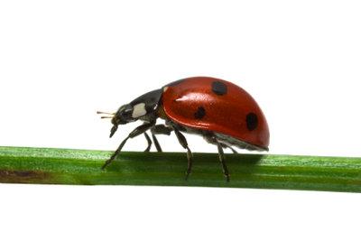 Marienkäfer sind imposante Tiere.